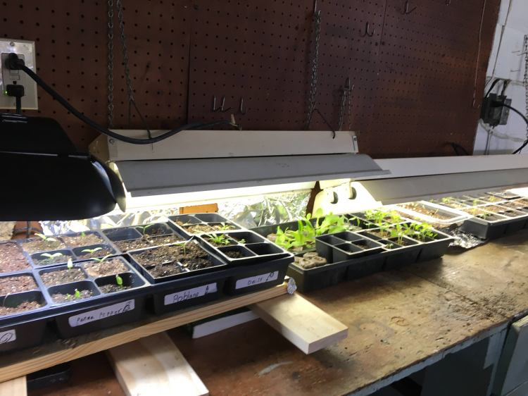 Seedlings on bench under lights.