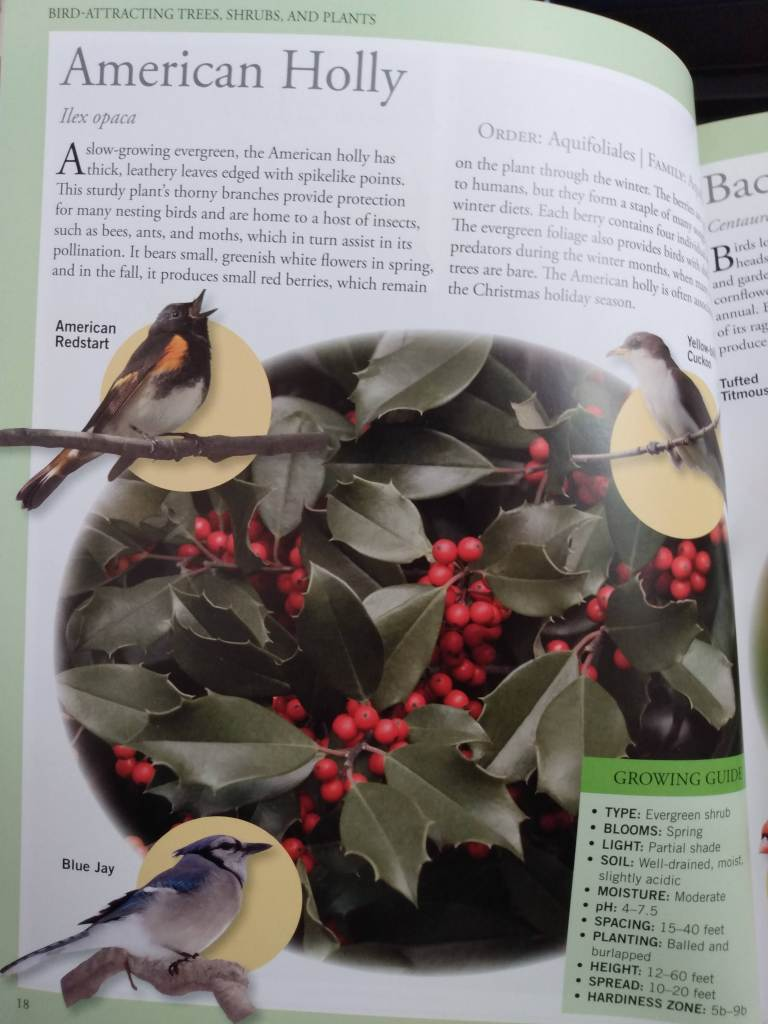 Page of book on American Holly, complete with some birds this plant attracts and a growing guide.