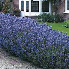 Hedge row of blooming lavender.  Bluish purple blossoms.