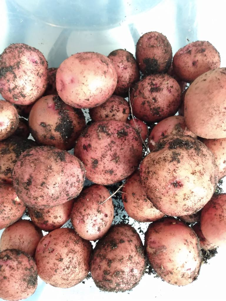Freshly dug potatoes with soil still on them.