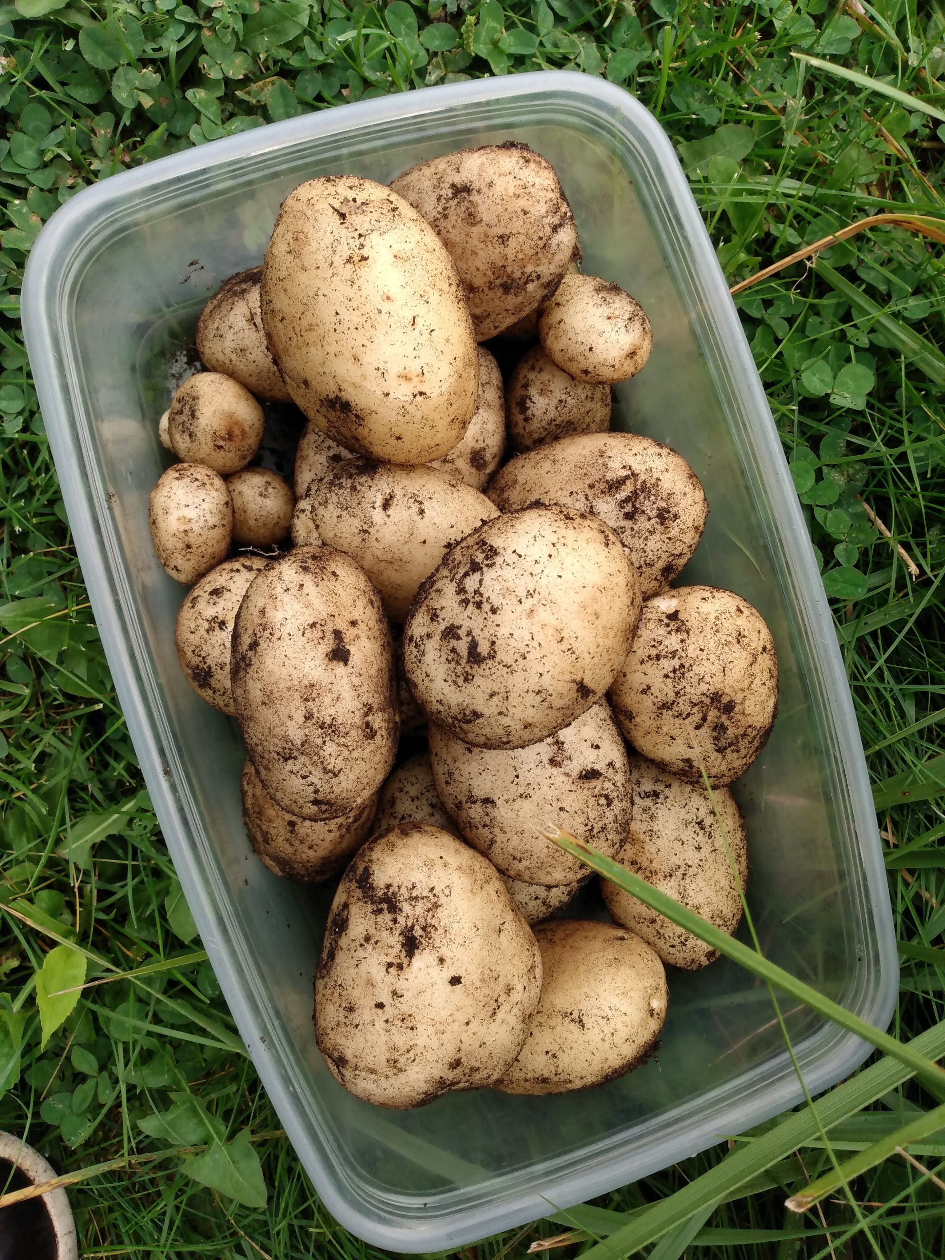 About 2 or 3 pounds of potatoes in a plastic bin.