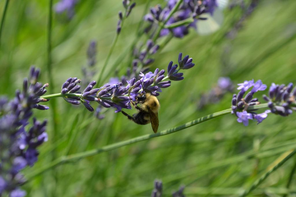 Close up photo of a bee on lavender bloom.