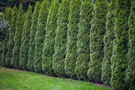 A row of densely planted upright conical shaped evergreen trees