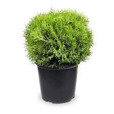 Potted small globe shaped evergreen shrub